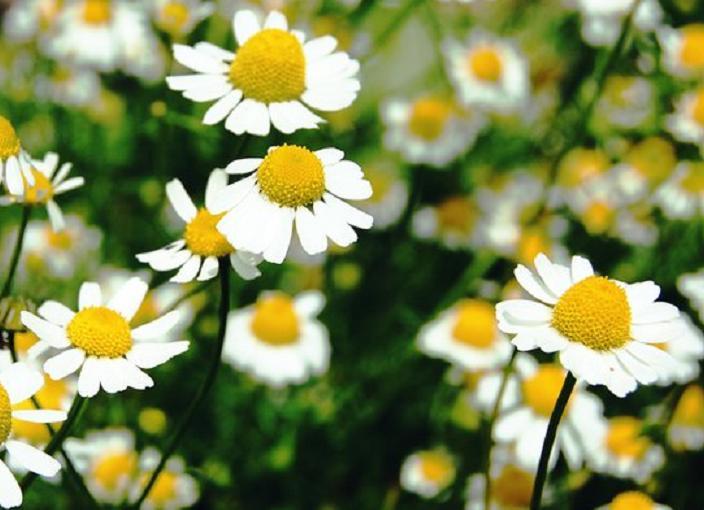 Kamilica – lek od davnina
