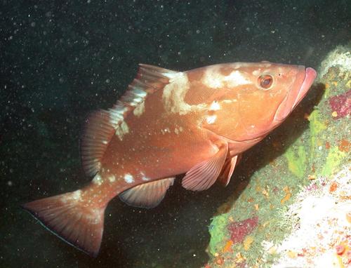 Morska riba sa prelivom