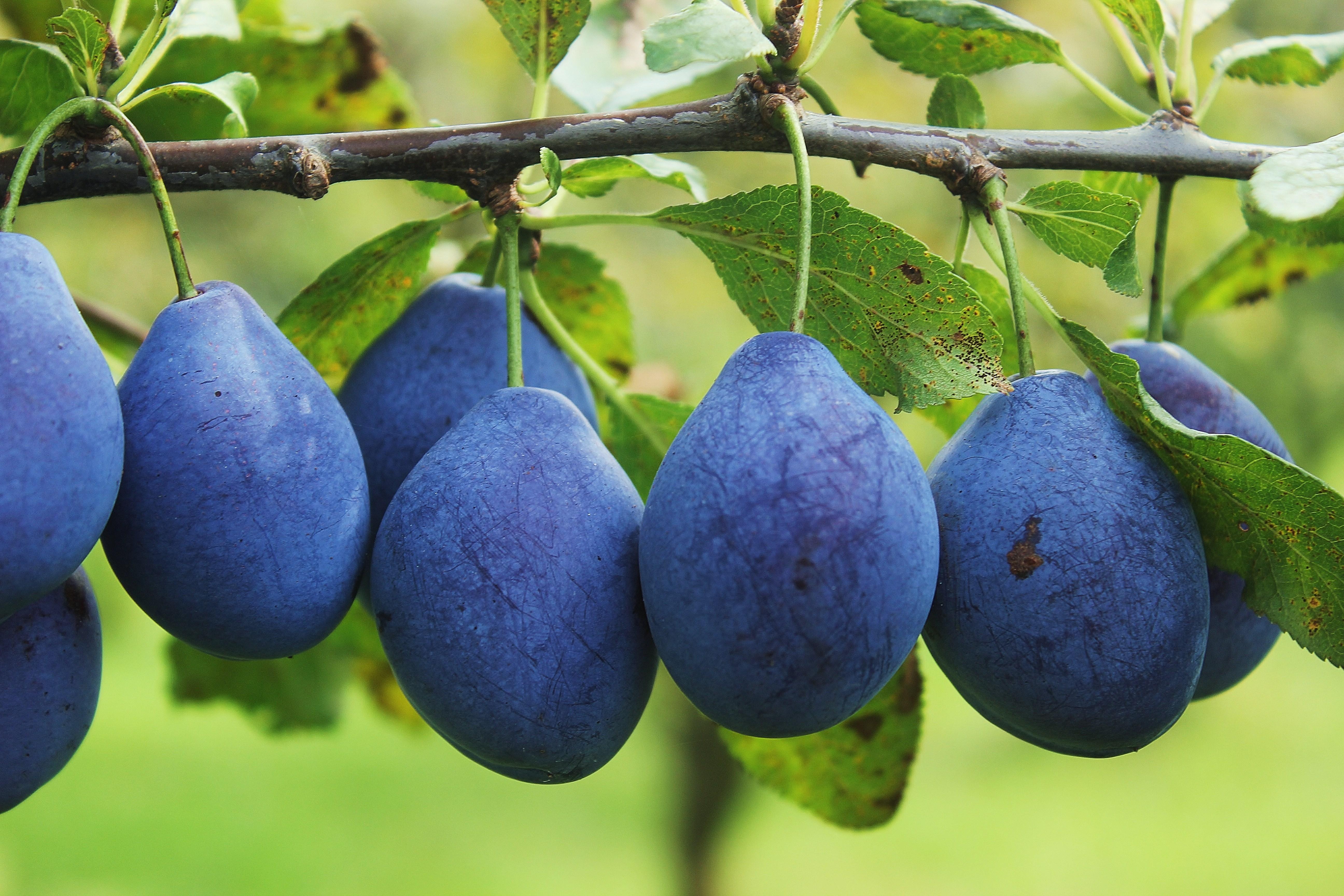 Šljiva – mala lekovita voćka