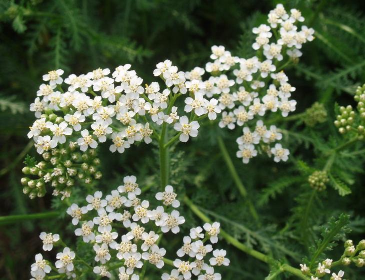 Hajdučka trava – koliko je lekovita?
