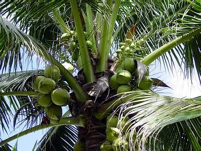 U SAD je pomama za njim: Kako je kokosov orah postao tako popularan?