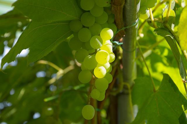 Venac od grožđa