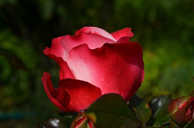 Ruža i kamilica