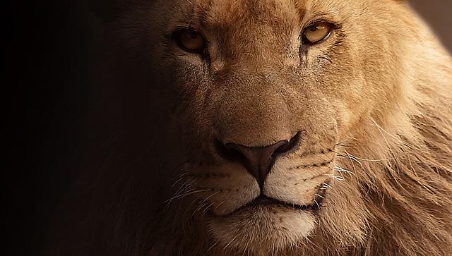 Hajka na zubara koji je ubio najpoznatijeg afričkog lava
