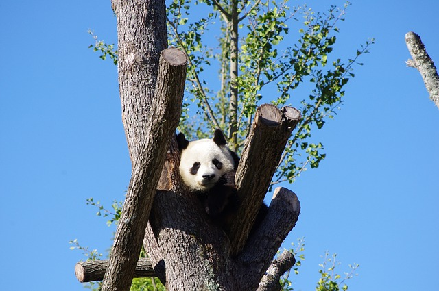Očuvanje bambusa prvi korak u spasavanju pandi