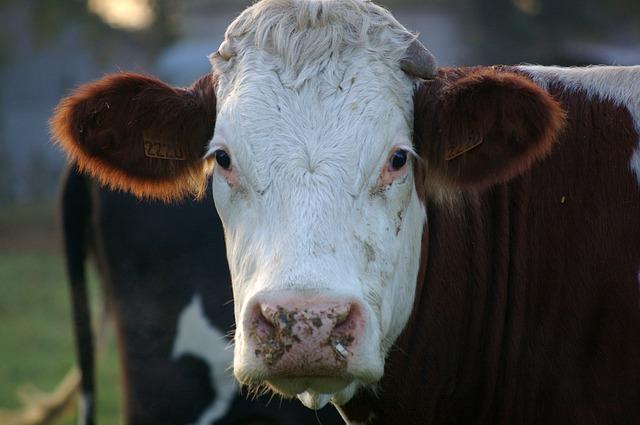 Pobili smo skoro sve: Za 200 godina krave će biti najveći sisari