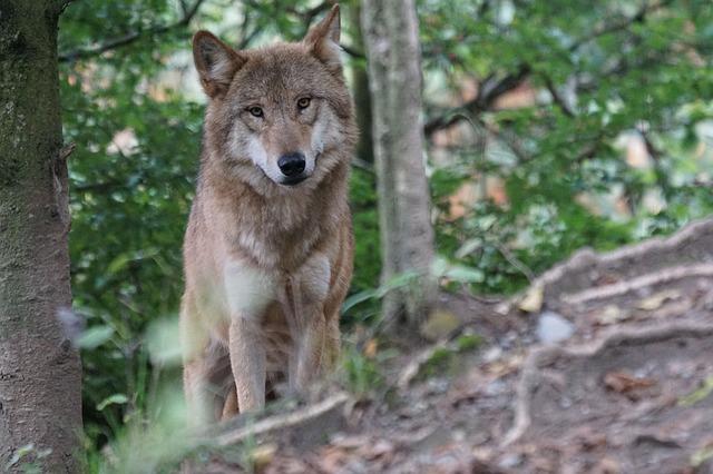 Tri jedinke vuka uspešno zbrinute u prihvatilistu u Grčkoj
