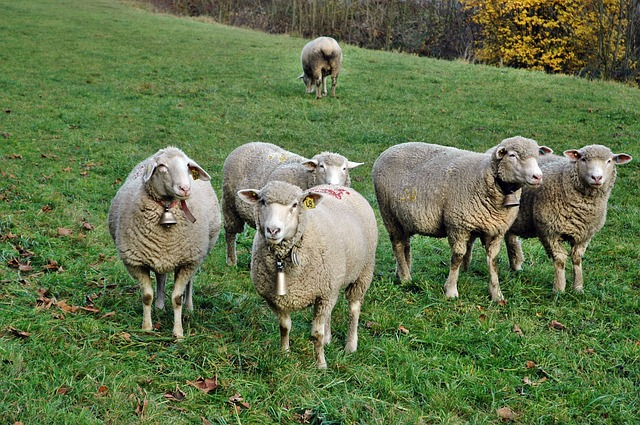 Ovce pojele biljke kanabisa, seljani u strahu