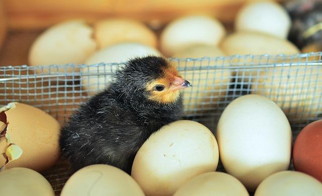 Genetski su modifikovali kokoške –  sada nose LEKOVITA JAJA