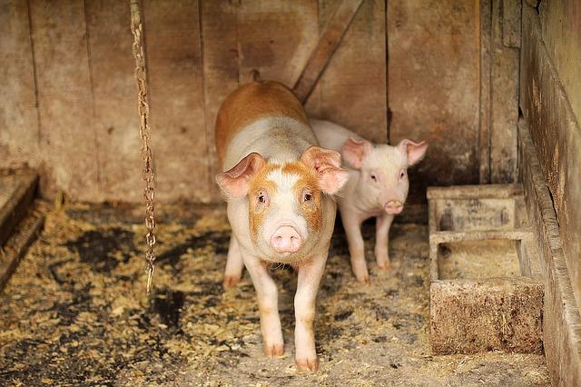 Ko se tovi na ceni svinjetine?