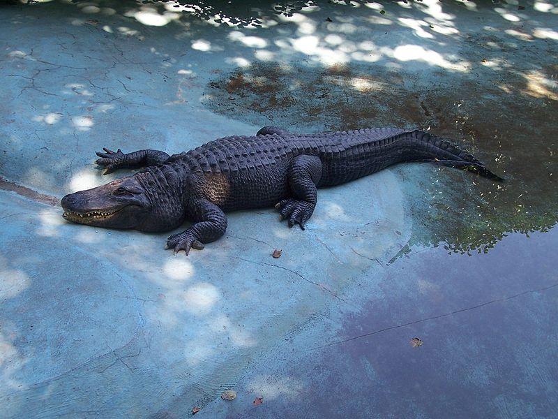 Muja – najstariji aligator na svetu