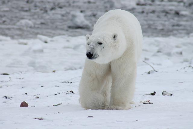 Vanredno stanje u delu Rusije – invazija polarnih medveda (video)