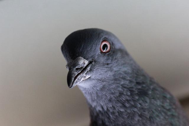 Bizarno: Konduktera kaznili zbog goluba bez karte