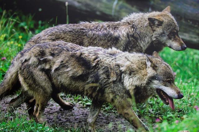 "Bajka Čiroki Indijanaca – ""Dva vuka"""