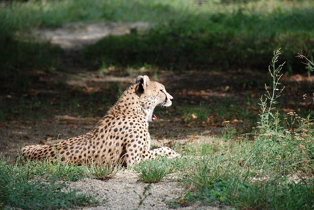 Gepardima preti izumiranje