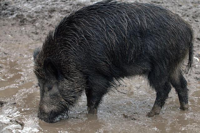 Divlji veprovi i pijane svinje haraju Poljskom