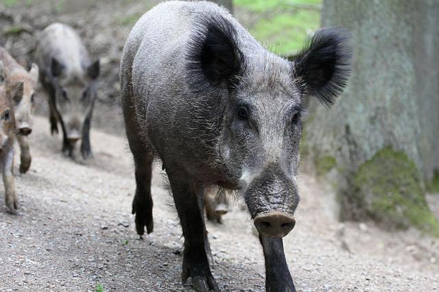 Haos na autoputu: Tri saobraćajna udesa, četiri povređena, zbog jedne – divlje svinje