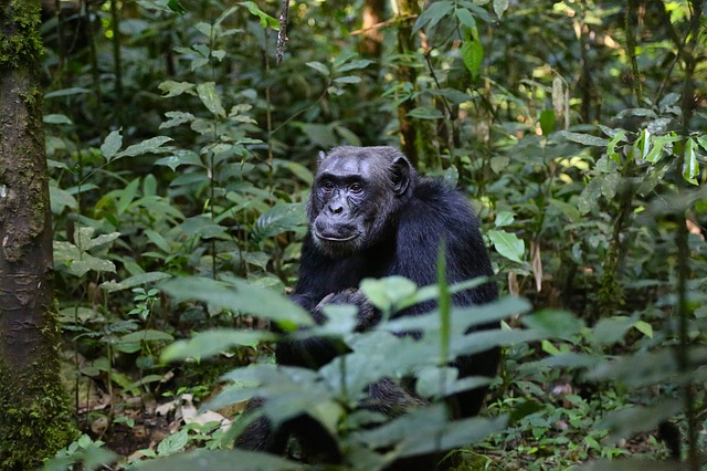 Umrli od straha: Majmuni zbog tigra dobili KOLEKTIVNI srčani udar!