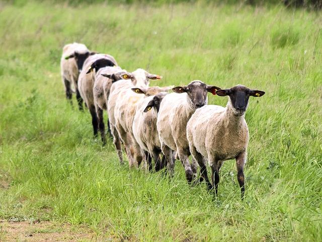 Predgrađe Pariza okupirale – ovce