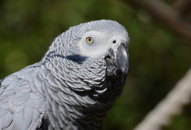 4 afrička siva žako papagaja otkrivena na Kelebiji