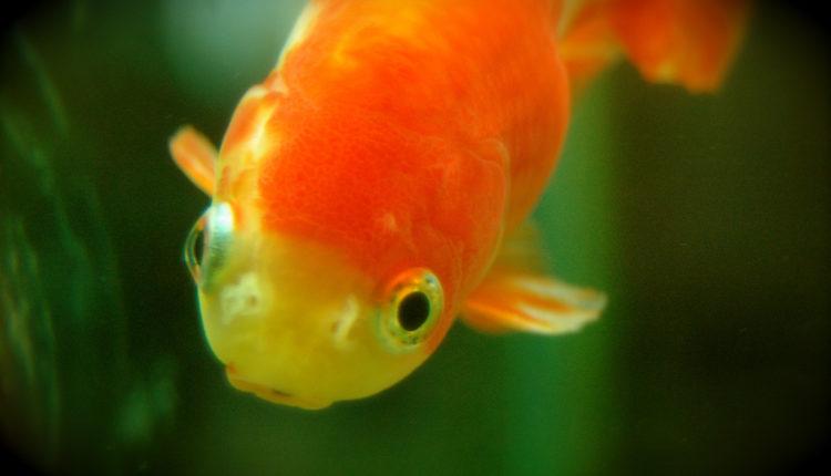 Za usamljene goste: Ovaj hotel iznajmljuje – zlatne ribice