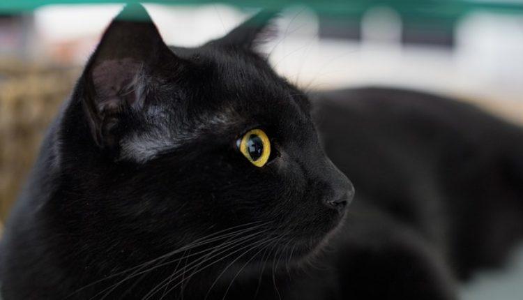 Mnogi veruju da crna mačka donosi nesreću, ali samo u jednom slučaju ipak donosi i sreću