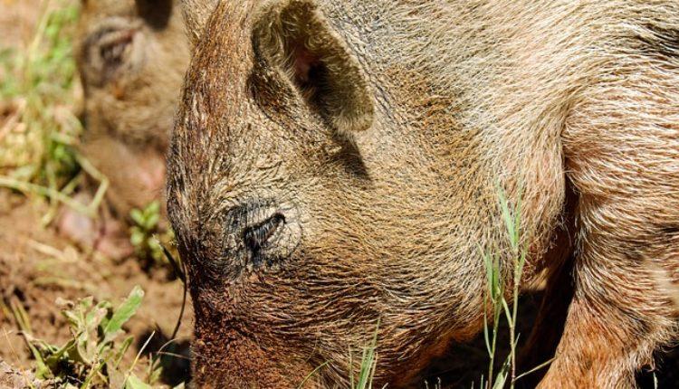 Šta rade stanovnici Borče? Jure divlje svinje