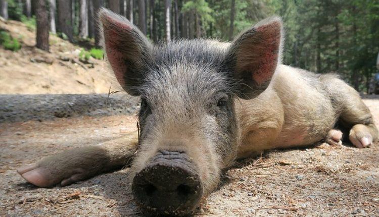 Divlje svinje doplivale do Štranda, potera u toku