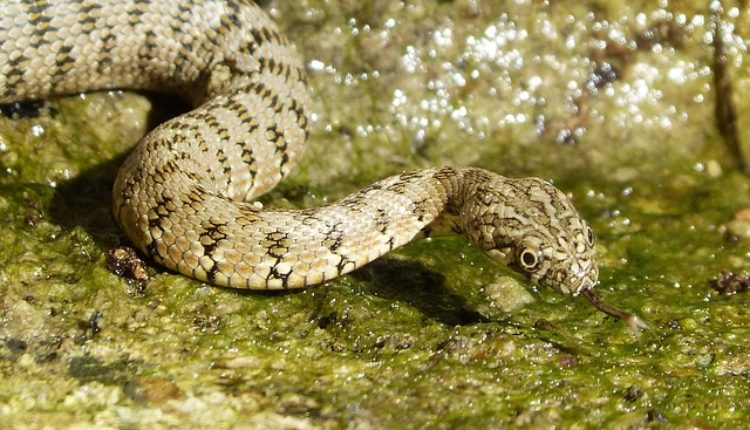 Čuo je vrisak i u šoku gledao kako mu ogromna zmija odvlači sina