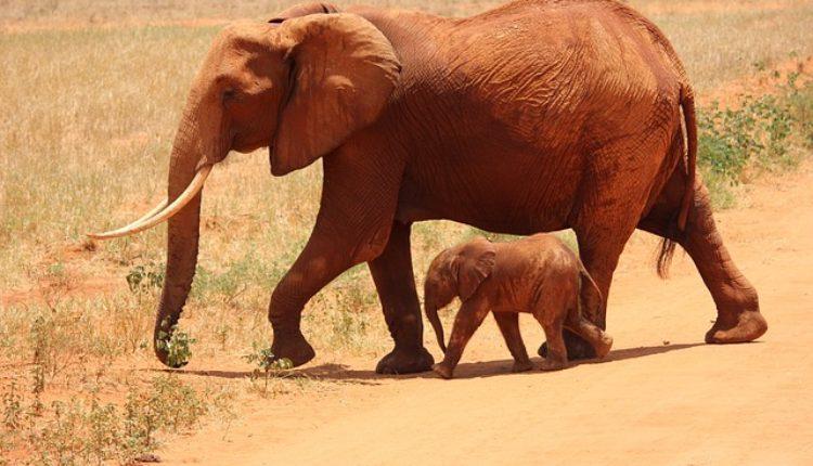 Drastično: Ako posedujete slonovu ili kost nosoroga možete dobiti – doživotnu robiju