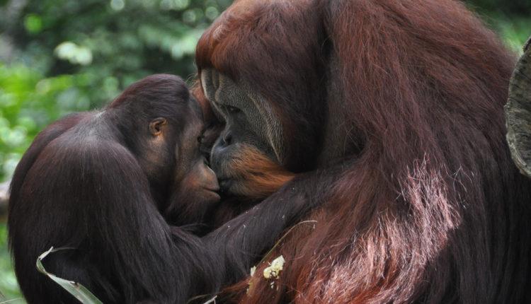 Posle 100 godina otkrivena nova vrsta orangutana – i to pred izumiranjem