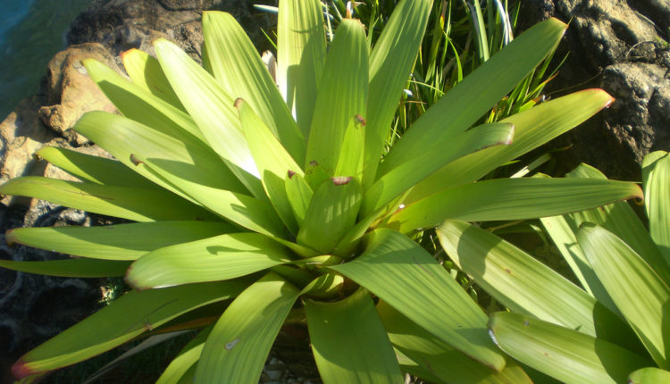 Ova biljka ZAUSTAVLJA hrkanje i čisti vazduh