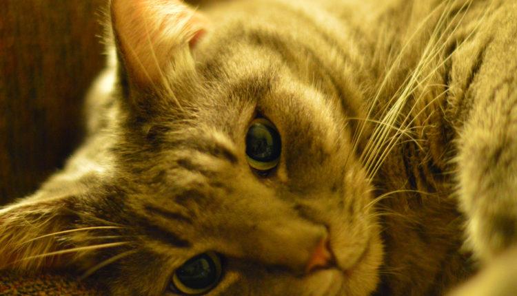 Mačke svojim predenjem ublažavaju upalne procese