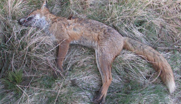 Zaštićene životinje ponovo otrovane: pronađeno 16 leševa