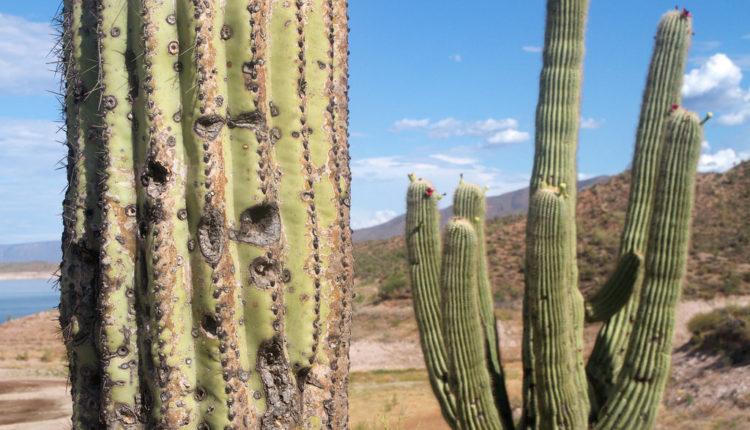 Ovde kaktuse čuvaju od kradljivaca – mikročipom