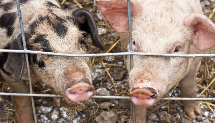 Horor u Srbiji: svinje raskomadale – ljude!
