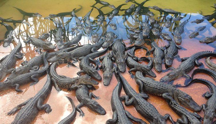 Čuveni modni brend na sudu zbog kože više od 700 mladih krokodila