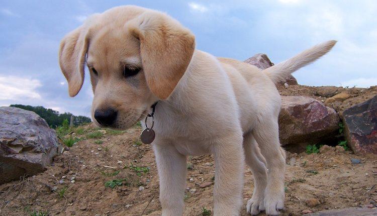 Ovo je najpopularnija rasa pasa u SAD već 28 godina zaredom