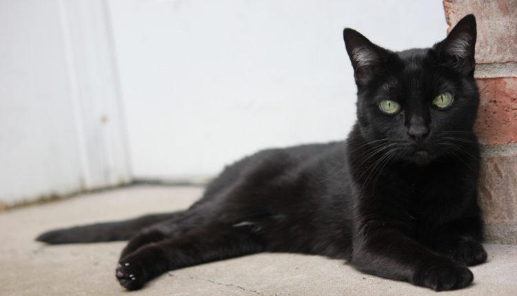 Mnogi veruju da crna mačka donosi blagostanje u kuću