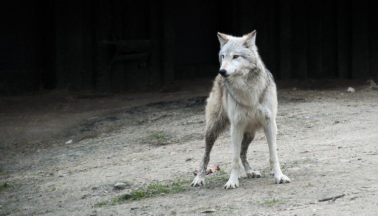Sivi vukovi iz Černobilja po svetu šire mutirane gene?