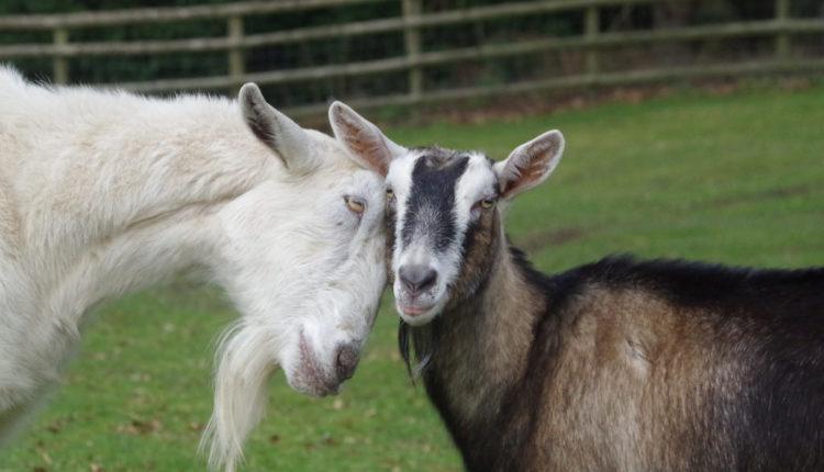 Najluđi fudbalski transfer, prodali igrače da bi kupili – koze