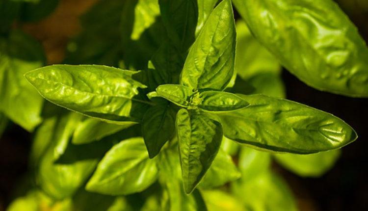 Čudotvorna biljka: Dokazan lek za mnoge bolesti