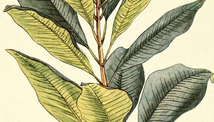Najdragocenija začinska biljka: Ublažava zubobolju, astmu i bronhitis
