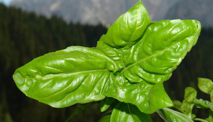 Svemoćna biljka: Čuva zdravlje i privlači NOVAC