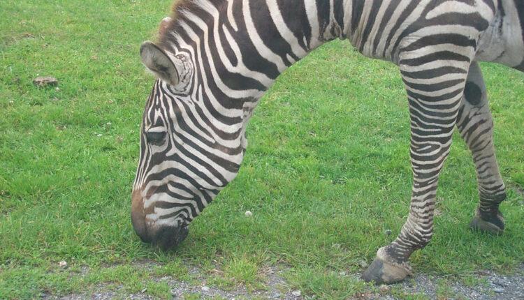 Znate li koja je funkcija zebrinih pruga?