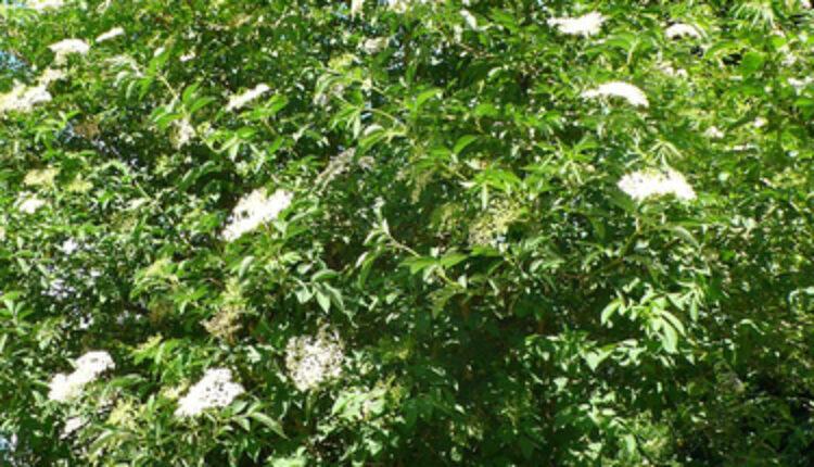 Magična biljka: Spas od MNOGIH bolesti