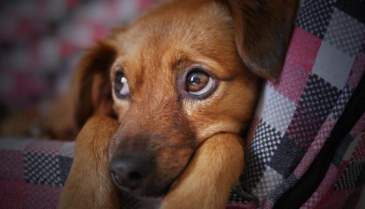 Crnom Gorom hara retka bolest smrtonosna za pse, u opasnosti i deca