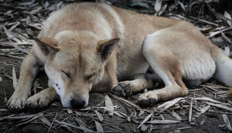 Jezive brojke: U Aziji se godišnje pojede 30 miliona pasa