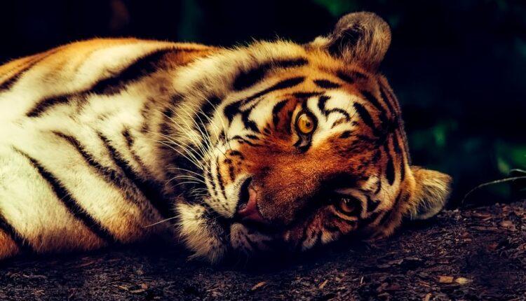 Nezabeleženo, prvi slučaj u svetu – tigar zaražen korona virusom