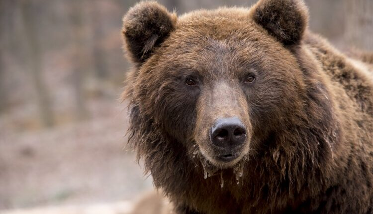 Horor: Planinari naišli na medveda koji jede čoveka